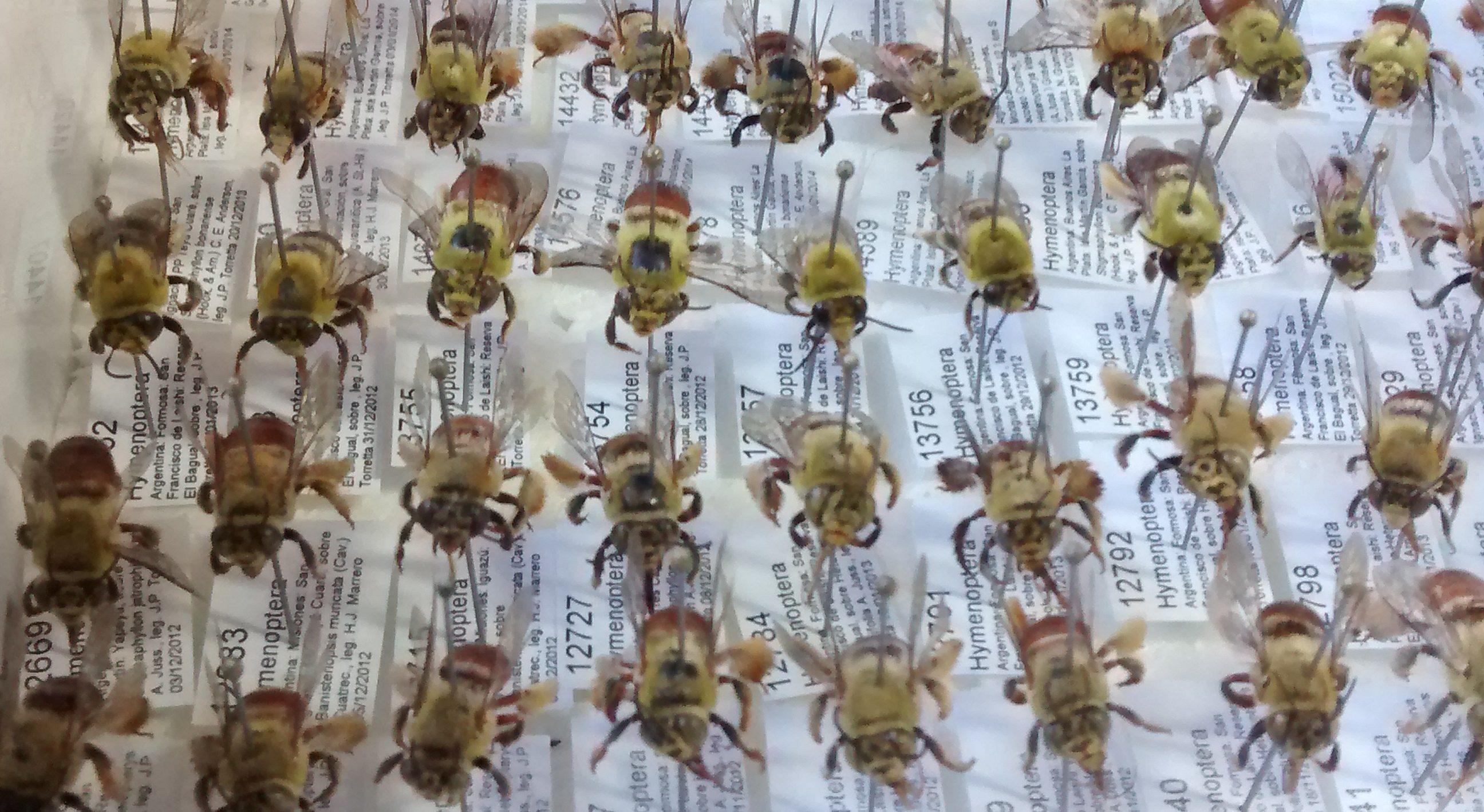 Descubren en Misiones dos nuevas especies de abejas que usan aceites ...